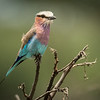 Lilac breasted roller, Mbono Camp, Tanzania