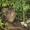 Spotted eagle owl with junvenile nearby, Lamai Serengeti, Tanzania