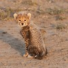 Cheetah Cub on the Road