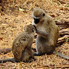 The same monkeys grooming each other. They were at this for quite a while. Lake Manyara National Park, Tanzania