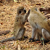 Two monkeys grooming each other. (I don't know the name of this type of monkey). Lake Manyara National Park, Tanzania