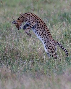 An elusive Serval cat mid jump as she pounces on a rodent in the grass