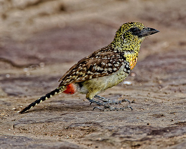 d'Arnaud's Barbet.  Colorful in everyway
