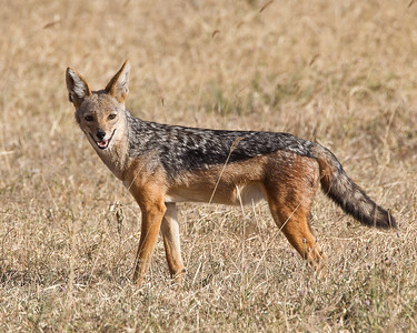The more common black backed jackal watching from the grass.