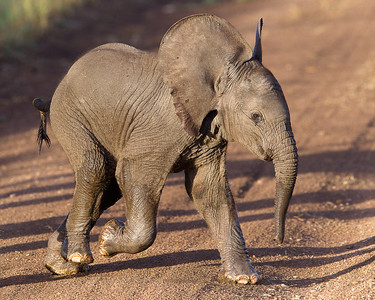 A baby elephant crossing the road.