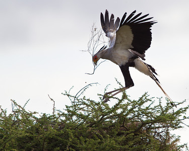 A secretary bird bringing nesting material to its mate