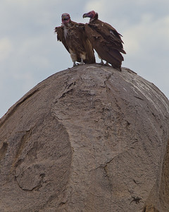 The leopard face vultures were in no hurry to move on