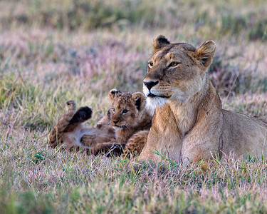 A female lioness and two young cubs enjoying the first rays of sunlight