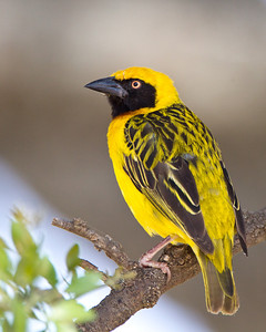 A lesser masked weaver relaxing on a branch.
