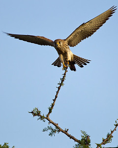 Lesser kestrel coming in for a landing