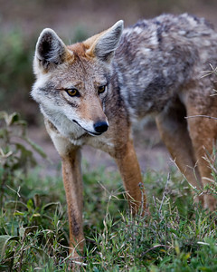 A curious golden jackal watching as we went by.