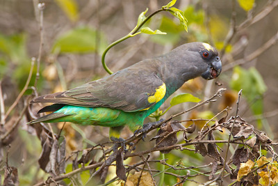 This brown parrot was clearly enjoying the seeds he was finding.
