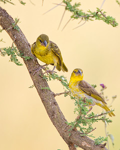 There are many beautiful birds in the trees.  These are village weavers