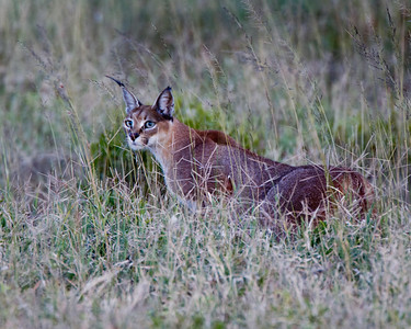 The elusive caracal.  They're out there and plenty of them see you, but it's a treat for you to see them.  Look at those ears.