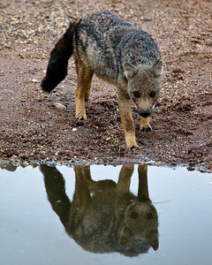 A very shy side striped jackal comes down for a morning drink.  He winced with every click of the shutter.