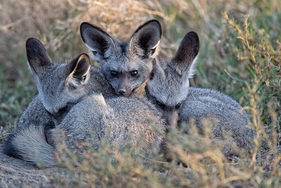 Bat eared foxes huddled together for warmth on a cold morning.
