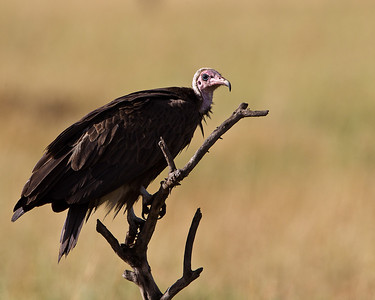 A white capped vulture enjoying the warmth of the sun.