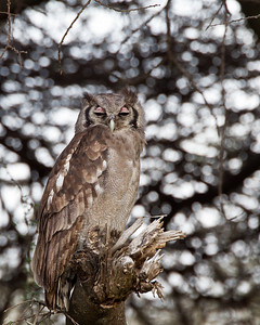 Verreaux's Eagle Owl resting quietly under a tree.