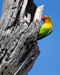 Fisher's lovebird watching carefully from the entrance to his nest.