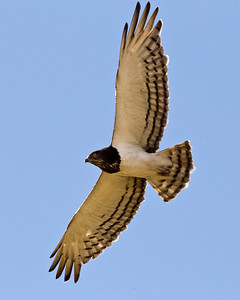 black chested snake eagle in flight