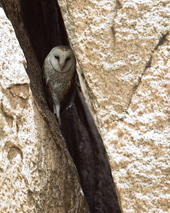 An African grass owl looks out from a crevice where it is sheltering from the mid day sun