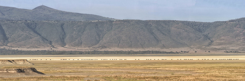 A long line of wildebeest moves across the floor of the crater.   Enlarge this to see them in detail