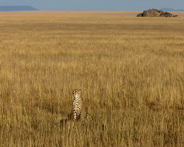 Perhaps this gives you some idea of the endless scope of the Serengeti -- dotted with Kopjes and animals inlcuding the two cheetahs here (mother and son) who have just killed a gazelle.