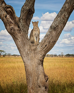 A leopard calmly eying the crowd from his perch in the tree trunk on the Serengeti.