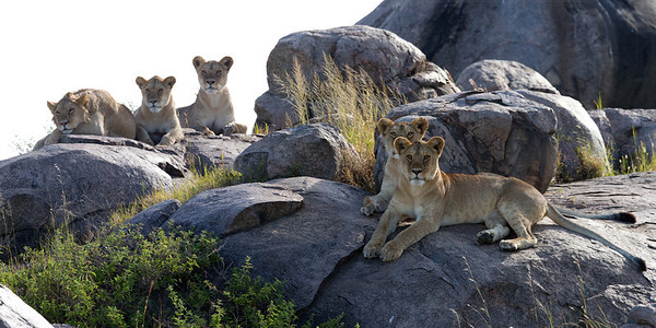 The lion pride was enjoying the early morning warmth on the rocks