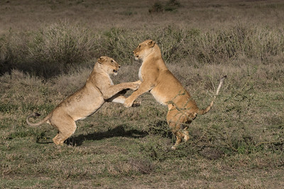 Two lionesses playfully sparred with each other afters gorging on their wildebeest kill.  We knew it was not serious because their claws were not out.