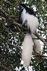 Black-and-white Colobus Monkeys, Arusha National Park, Tanzania.  March 2008