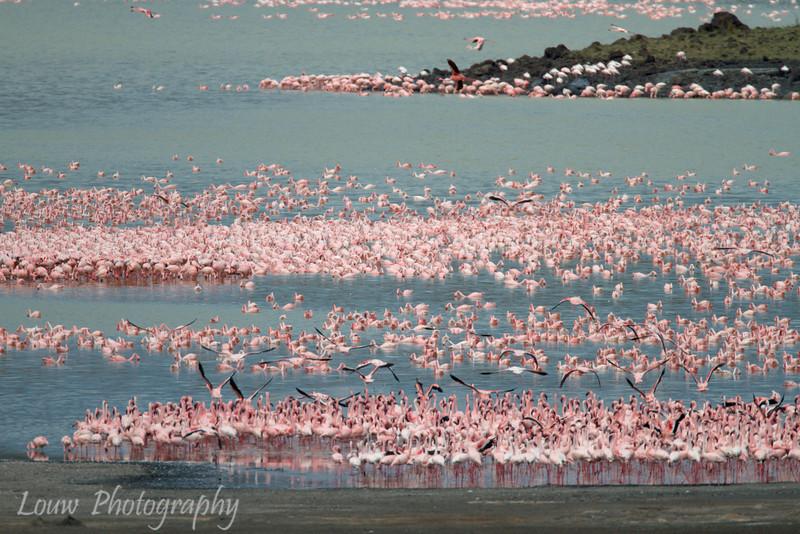 "<a target=""NEWWIN"" href=""http://en.wikipedia.org/wiki/Lesser_Flamingo"">Lesser Flamingos (<i>Phoenicopterus minor</i>)</a>, <a target=""NEWWIN"" href=""http://en.wikipedia.org/wiki/Arusha_National_Park"">Arusha National Park</a>, Tanzania"