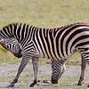 "<a target=""NEWWIN"" href=""http://en.wikipedia.org/wiki/Plains_Zebra"">Common Zebra (<i>Equus quagga</i>)</a>, <a target=""NEWWIN"" href=""http://en.wikipedia.org/wiki/Arusha_National_Park"">Arusha National Park</a>, Tanzania"