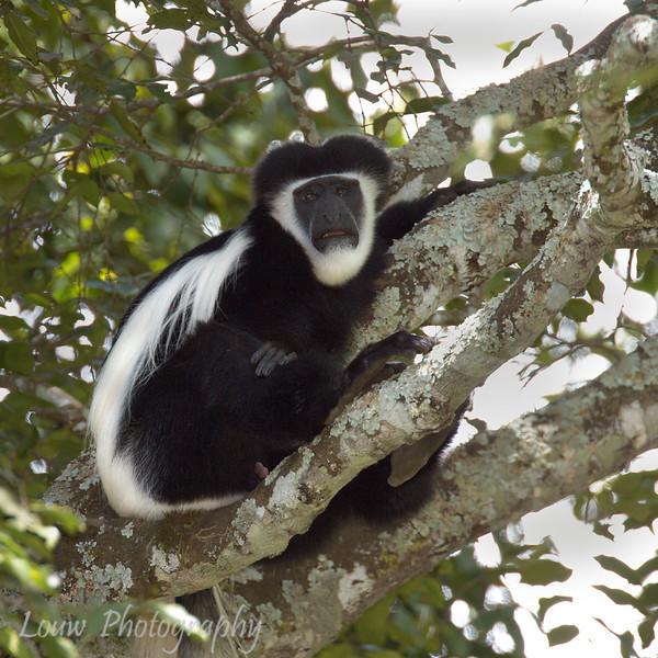 "<a target=""NEWWIN"" href=""http://en.wikipedia.org/wiki/Black-and-white_colobus"">Black-and-white colobus (<i>Simia polycomos</i>)</a>, <a target=""NEWWIN"" href=""http://en.wikipedia.org/wiki/Arusha_National_Park"">Arusha National Park</a>, Tanzania"