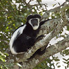 Black-and-white colobus (Simia polycomos), Arusha National Park, Tanzania