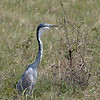 "<a target=""NEWWIN"" href=""http://en.wikipedia.org/wiki/Grey_Heron"">Grey Heron (<i>Ardea cinerea</i>)</a>, <a target=""NEWWIN"" href=""http://en.wikipedia.org/wiki/Arusha_National_Park"">Arusha National Park</a>, Tanzania"
