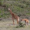 """<a target=""""NEWWIN"""" href=""""http://en.wikipedia.org/wiki/Giraffe"""">Giraffes (<i>Giraffa camelopardalis</i>)</a>, <a target=""""NEWWIN"""" href=""""http://en.wikipedia.org/wiki/Arusha_National_Park"""">Arusha National Park</a>, Tanzania"""