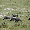 "<a target=""NEWWIN"" href=""http://en.wikipedia.org/wiki/Cape_buffalo"">Cape Buffalos (<i>Syncerus caffer</i>)</a>, <a target=""NEWWIN"" href=""http://en.wikipedia.org/wiki/Arusha_National_Park"">Arusha National Park</a>, Tanzania"