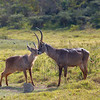 "<a target=""NEWWIN"" href=""http://en.wikipedia.org/wiki/Waterbuck"">Waterbucks (<i>Kobus ellipsiprymnus</i>)</a>, <a target=""NEWWIN"" href=""http://en.wikipedia.org/wiki/Arusha_National_Park"">Arusha National Park</a>, Tanzania"