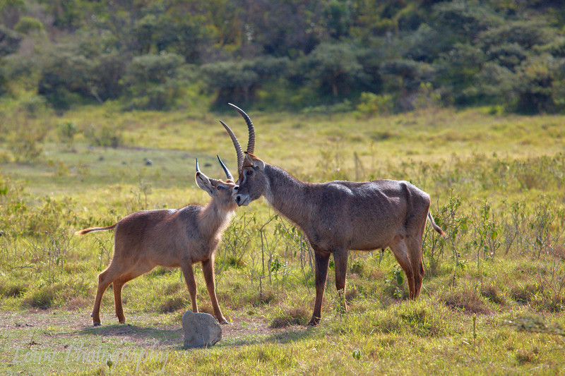 "<a target=""NEWWIN"" href=""http://en.wikipedia.org/wiki/Waterbuck"">Waterbucks (<i>Kobus ellipsiprymnus</i>)</a>, <a target=""NEWWIN"" href=""http://en.wikipedia.org/wiki/Arusha_National_Park"">Arusha National Park</a>, Tanzania"