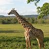 """<a target=""""NEWWIN"""" href=""""http://en.wikipedia.org/wiki/Giraffe"""">Giraffe (<i>Giraffa camelopardalis</i>)</a>, <a target=""""NEWWIN"""" href=""""http://en.wikipedia.org/wiki/Arusha_National_Park"""">Arusha National Park</a>, Tanzania"""
