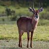 "<a target=""NEWWIN"" href=""http://en.wikipedia.org/wiki/Waterbuck"">Waterbuck (<i>Kobus ellipsiprymnus</i>)</a>, <a target=""NEWWIN"" href=""http://en.wikipedia.org/wiki/Arusha_National_Park"">Arusha National Park</a>, Tanzania"