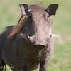 "<a target=""NEWWIN"" href=""http://en.wikipedia.org/wiki/Warthog"">Desert Warthog (<i>Phacochoerus aethiopicus</i>)</a>, <a target=""NEWWIN"" href=""http://en.wikipedia.org/wiki/Arusha_National_Park"">Arusha National Park</a>, Tanzania"