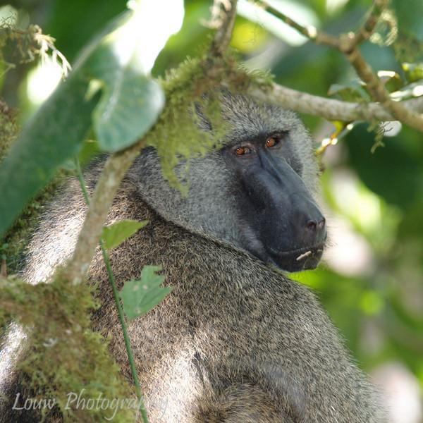 "<a target=""NEWWIN"" href=""http://en.wikipedia.org/wiki/Baboon"">Baboon (<i>Papio cynocephalus</i>)</a>, <a target=""NEWWIN"" href=""http://en.wikipedia.org/wiki/Arusha_National_Park"">Arusha National Park</a>, Tanzania"
