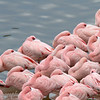 "<a target=""NEWWIN"" href=""http://en.wikipedia.org/wiki/Lesser_Flamingo"">Lesser Flamingos (<i>Phoenicopterus minor</i>)</a>, <a target=""NEWWIN"" href=""http://en.wikipedia.org/wiki/Arusha_National_Park"">Arusha National Park</a>, Tanzania"