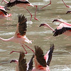 Lesser Flamingos (Phoenicopterus minor), Arusha National Park, Tanzania