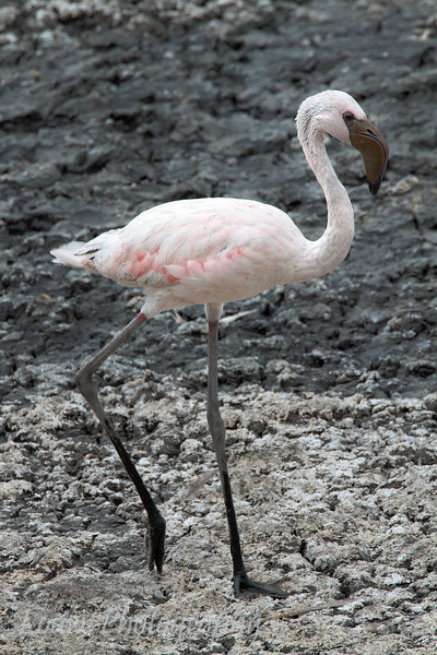 "Juvenile <a target=""NEWWIN"" href=""http://en.wikipedia.org/wiki/Lesser_Flamingo"">Lesser Flamingo (<i>Phoenicopterus minor</i>)</a>, <a target=""NEWWIN"" href=""http://en.wikipedia.org/wiki/Arusha_National_Park"">Arusha National Park</a>, Tanzania"