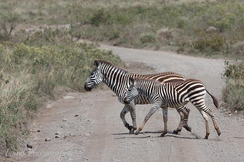 """<a target=""""NEWWIN"""" href=""""http://en.wikipedia.org/wiki/Plains_Zebra"""">Common Zebras (<i>Equus quagga</i>)</a>, <a target=""""NEWWIN"""" href=""""http://en.wikipedia.org/wiki/Arusha_National_Park"""">Arusha National Park</a>, Tanzania"""