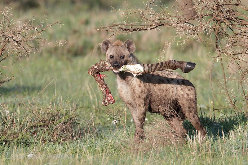 "<a target=""NEWWIN"" href=""http://en.wikipedia.org/wiki/Spotted_Hyena"">Spotted Hyena (<i>Crocuta crocuta</i>)</a> with Zebra leg, <a target=""NEWWIN"" href=""http://en.wikipedia.org/wiki/Serengeti"">Serengeti</a>, Tanzania"