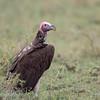 "<a target=""NEWWIN"" href=""http://en.wikipedia.org/wiki/Lappet-faced_Vulture"">Lappet-faced Vulture (<i>Torgos tracheliotos</i>)</a>, <a target=""NEWWIN"" href=""http://en.wikipedia.org/wiki/Serengeti"">Serengeti</a>, Tanzania"